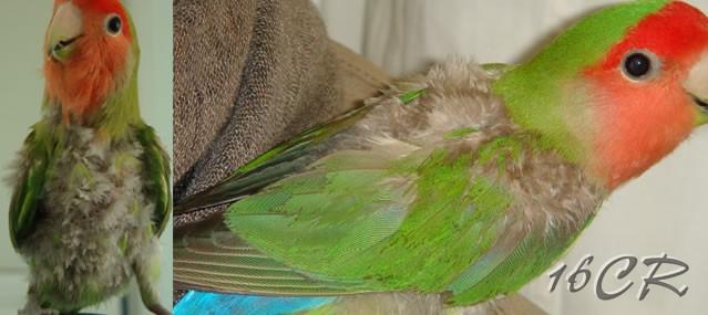 clamidia pappagalli